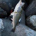 ひろヒロさんの新潟県西蒲原郡での釣果写真