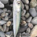 roppyさんの静岡県でのマサバの釣果写真
