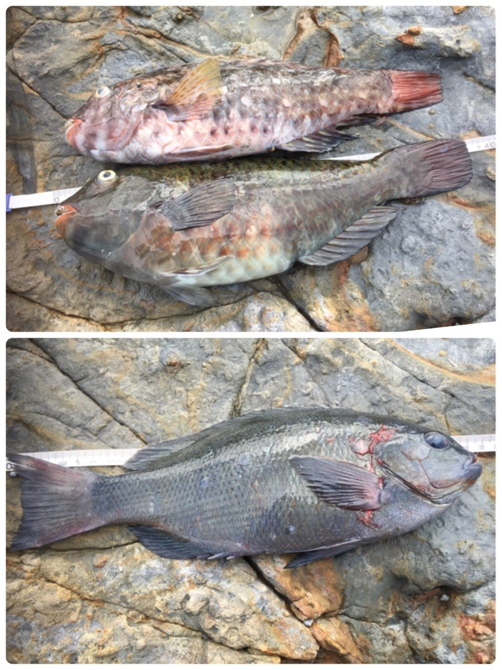 釣り吉さんの投稿画像,写っている魚はメジナ