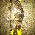 カービィさんのソイの釣果写真