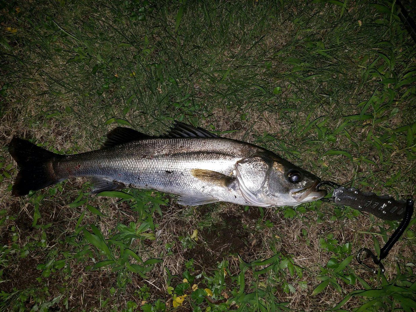 Moshawoさんの投稿画像,写っている魚はスズキ
