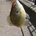 れんくんさんの青森県三沢市での釣果写真