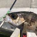 とんびさんの青森県青森市での釣果写真