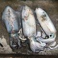 イカさんの山口県光市での釣果写真