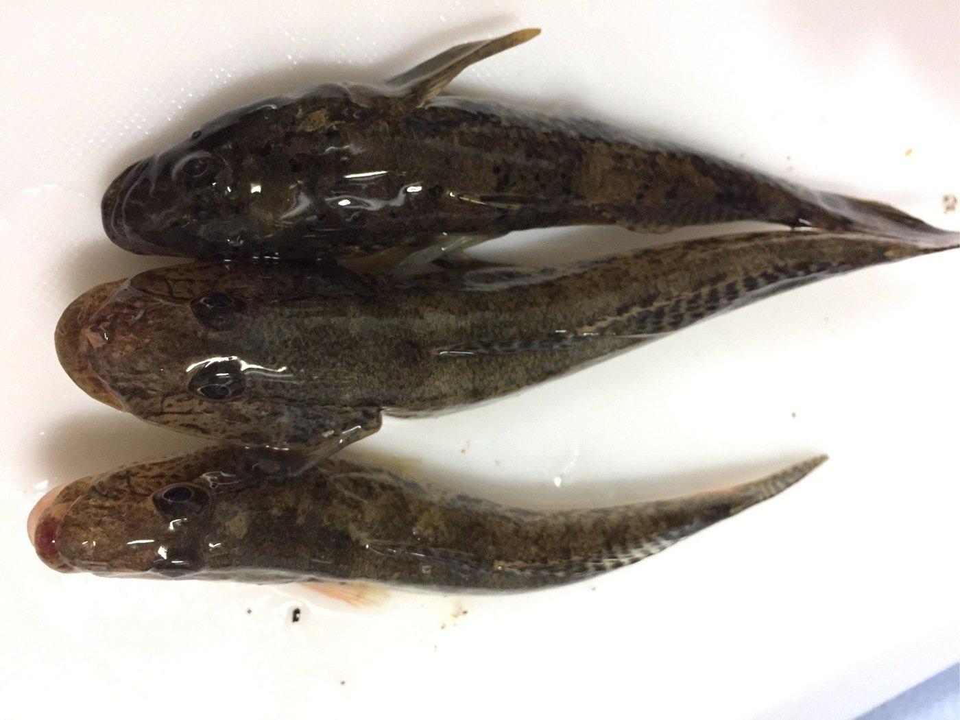sJimさんの投稿画像,写っている魚はマハゼ