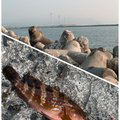 こてつさんの福井県福井市での釣果写真