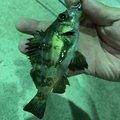 オトンさんの香川県でのメバルの釣果写真