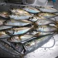 かずくんさんの大阪府泉南郡での釣果写真