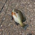 はのんさんの滋賀県長浜市での釣果写真