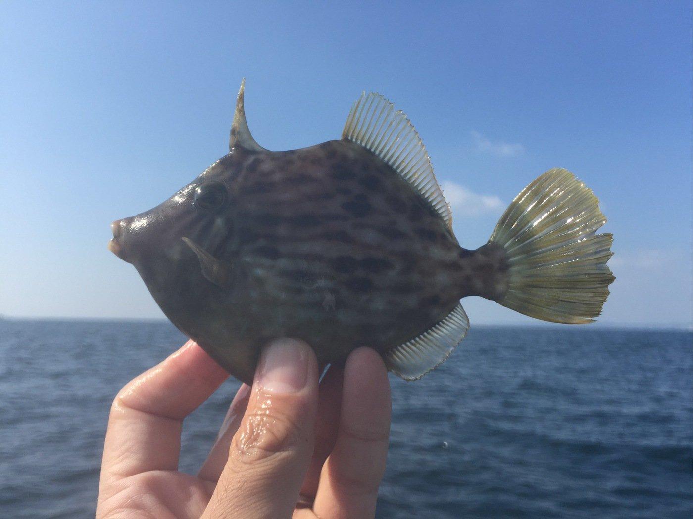 すずけんさんの投稿画像,写っている魚はカワハギ