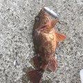 げんさんの愛媛県伊予市での釣果写真