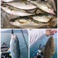 うーさんのヒラマサの釣果写真