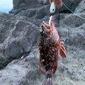 まささんの神奈川県でのカサゴの釣果写真