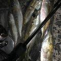 JACKさんの佐賀県唐津市での釣果写真