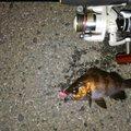 戸徒路さんの福島県相馬市での釣果写真
