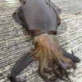 メジャクラ大好きアングラーさんの大阪府泉南郡での釣果写真