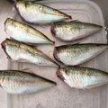 Yanさんの山口県大島郡でのアジの釣果写真