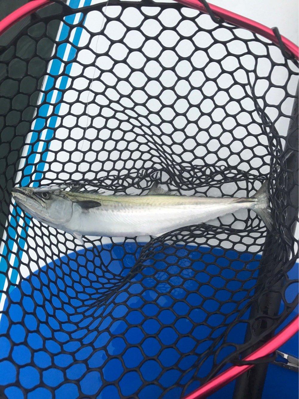 k.isseyさんの投稿画像,写っている魚はサワラ
