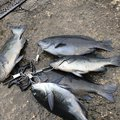 Satoshi Iwasakiさんの千葉県安房郡での釣果写真