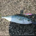 イカ くコ:彡さんの徳島県徳島市での釣果写真