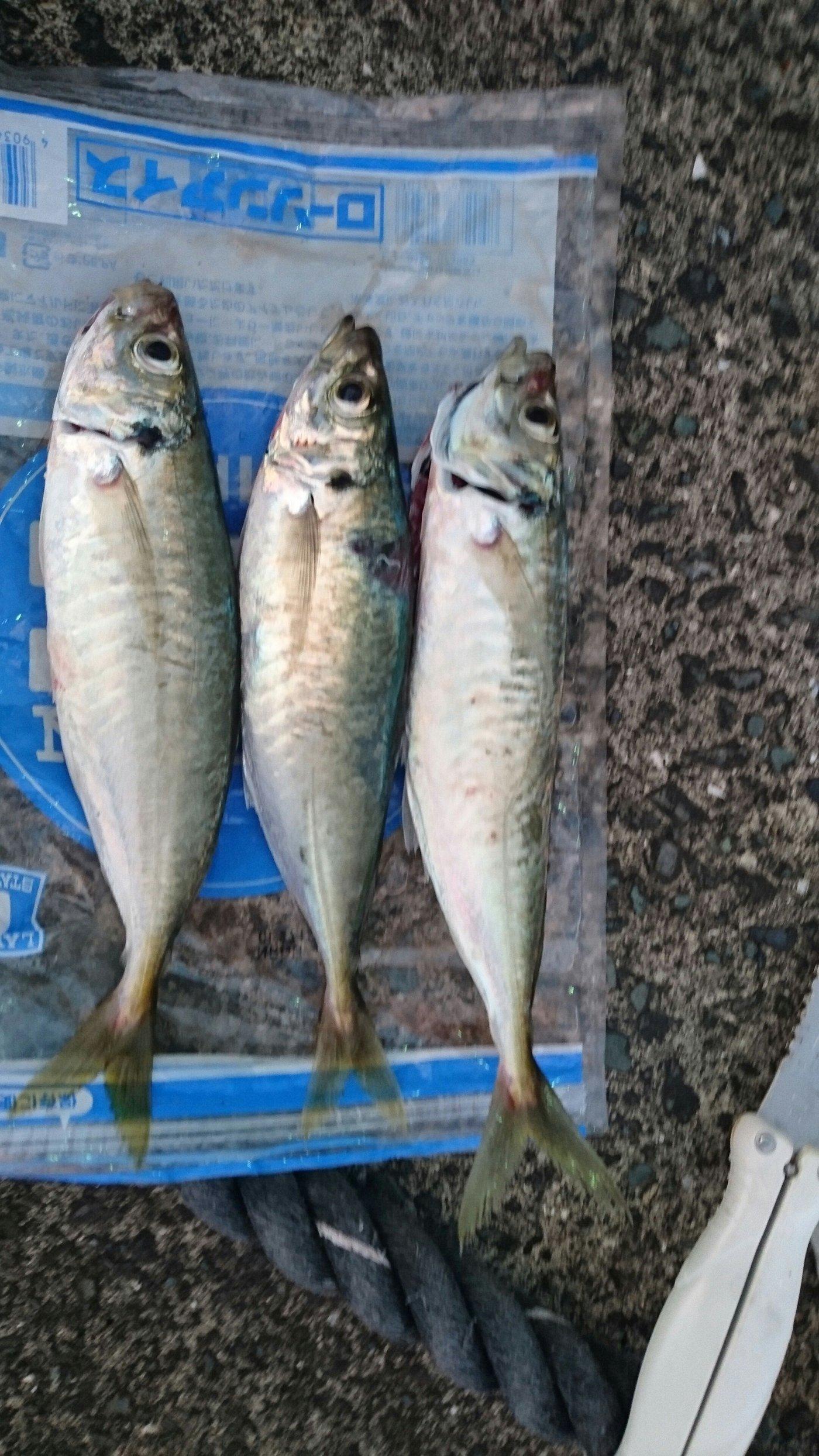 伊予灘物語Ⅱさんの投稿画像,写っている魚は