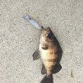 ねこRF-742さんの宮城県牡鹿郡での釣果写真