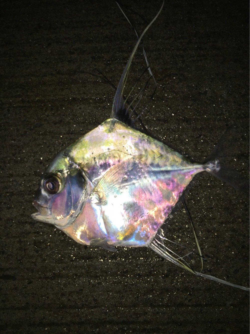 釣りキチ三瓶で〜すさんの投稿画像,写っている魚はイトヒキアジ
