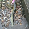 おじさんの埼玉県でのナマズの釣果写真