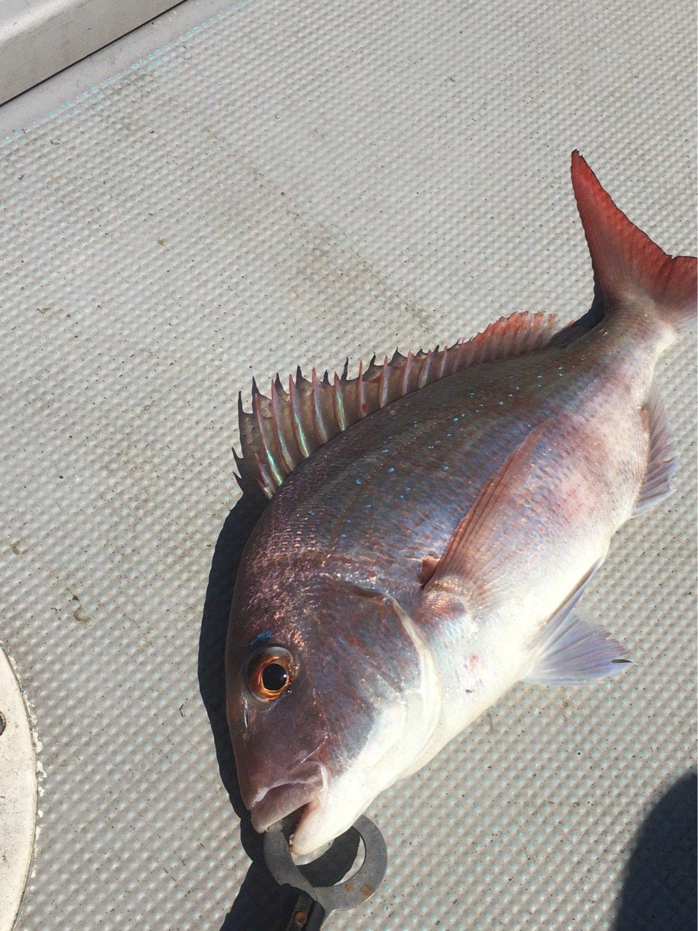 おるさんの投稿画像,写っている魚はマダイ
