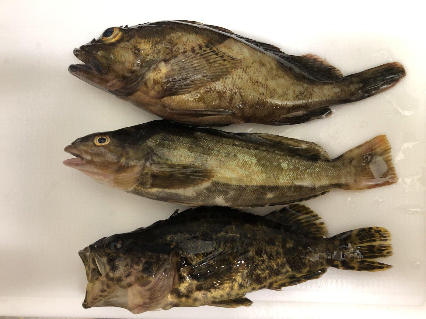 Shogoさんの投稿画像,写っている魚はタケノコメバル,アイナメ,カサゴ