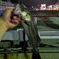 higuさんの千葉県木更津市での釣果写真