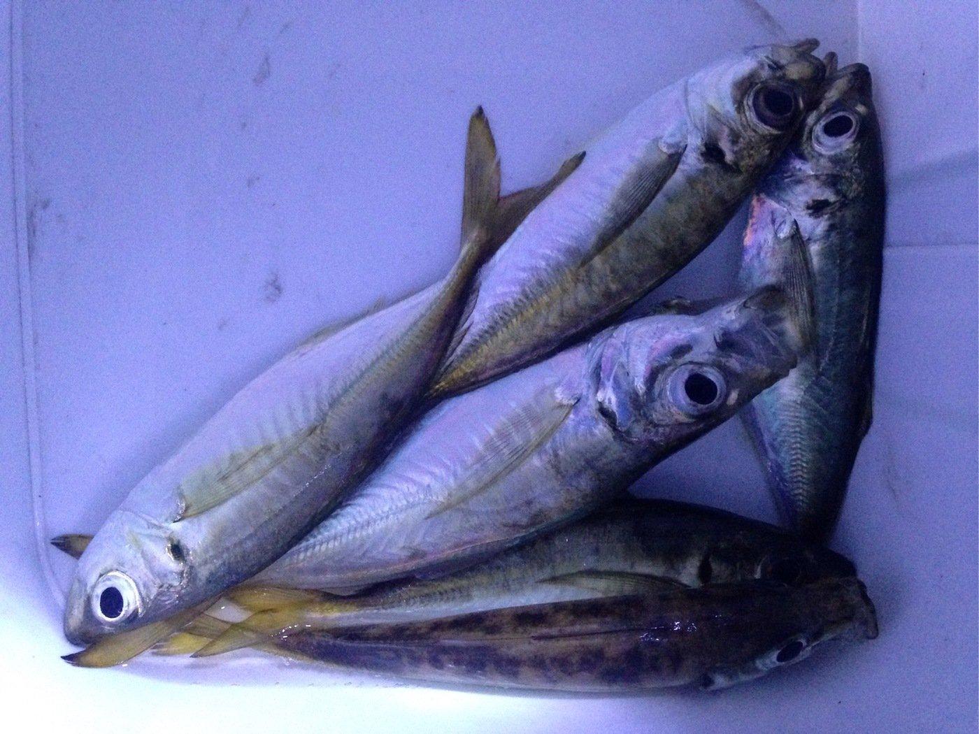 ゆうたさんの投稿画像,写っている魚はアジ