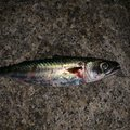 しまやんさんの大阪府岸和田市での釣果写真