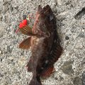 シャンクさんの兵庫県揖保郡での釣果写真