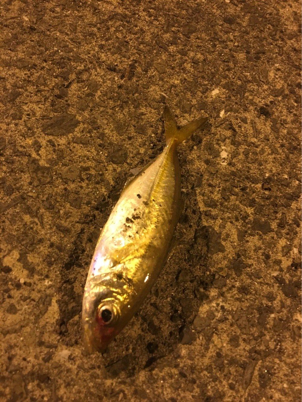 masaさんの投稿画像,写っている魚はアジ