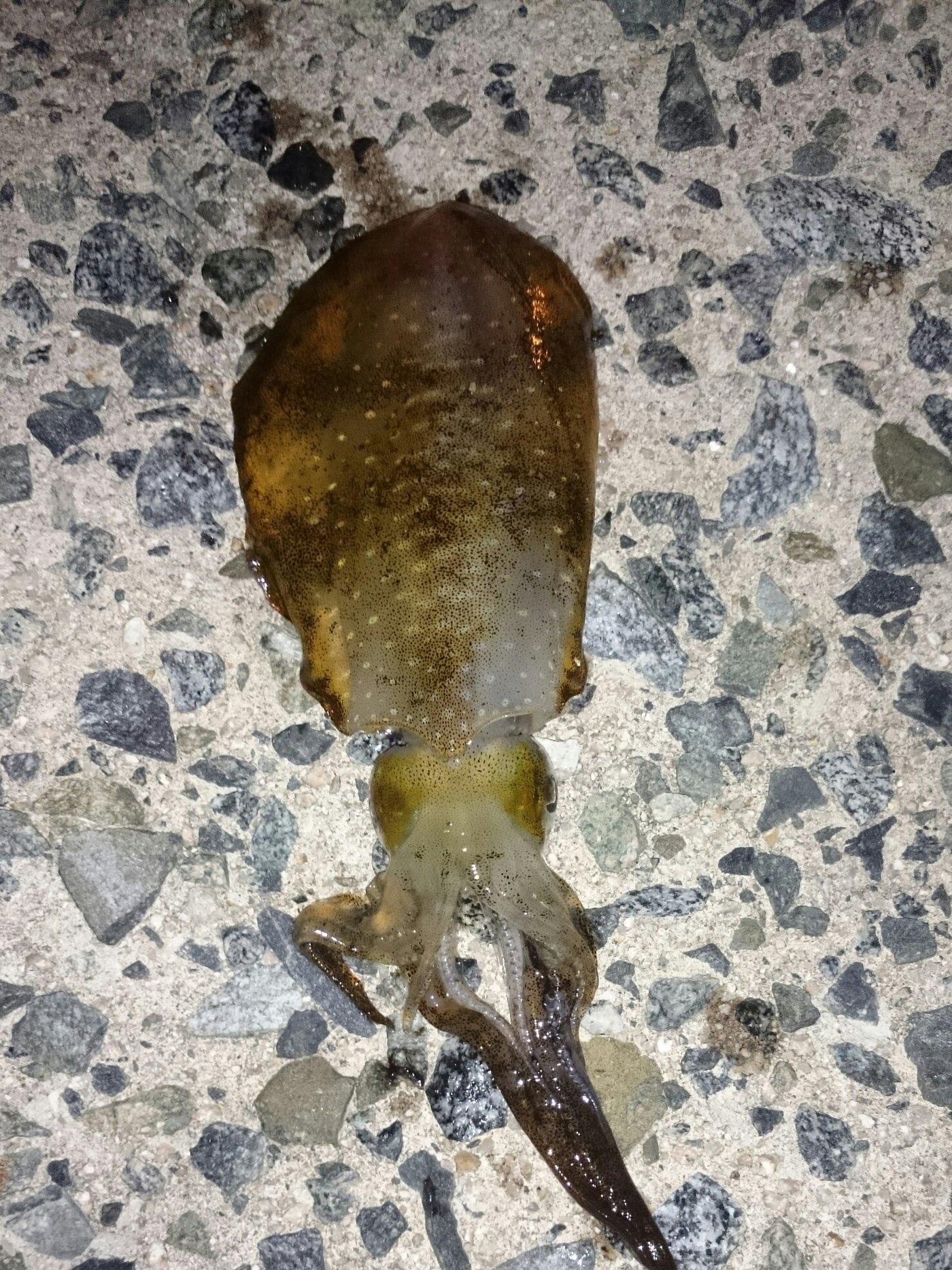 hiroyaさんの投稿画像,写っている魚はアオリイカ