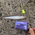 モケポンさんの新潟県西蒲原郡での釣果写真