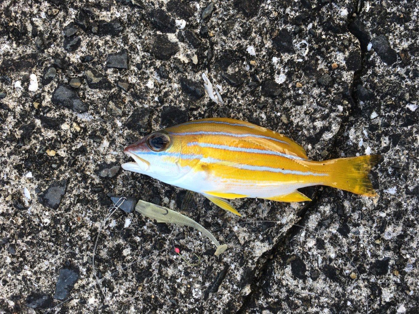 大五郎さんの投稿画像,写っている魚はヨスジフエダイ