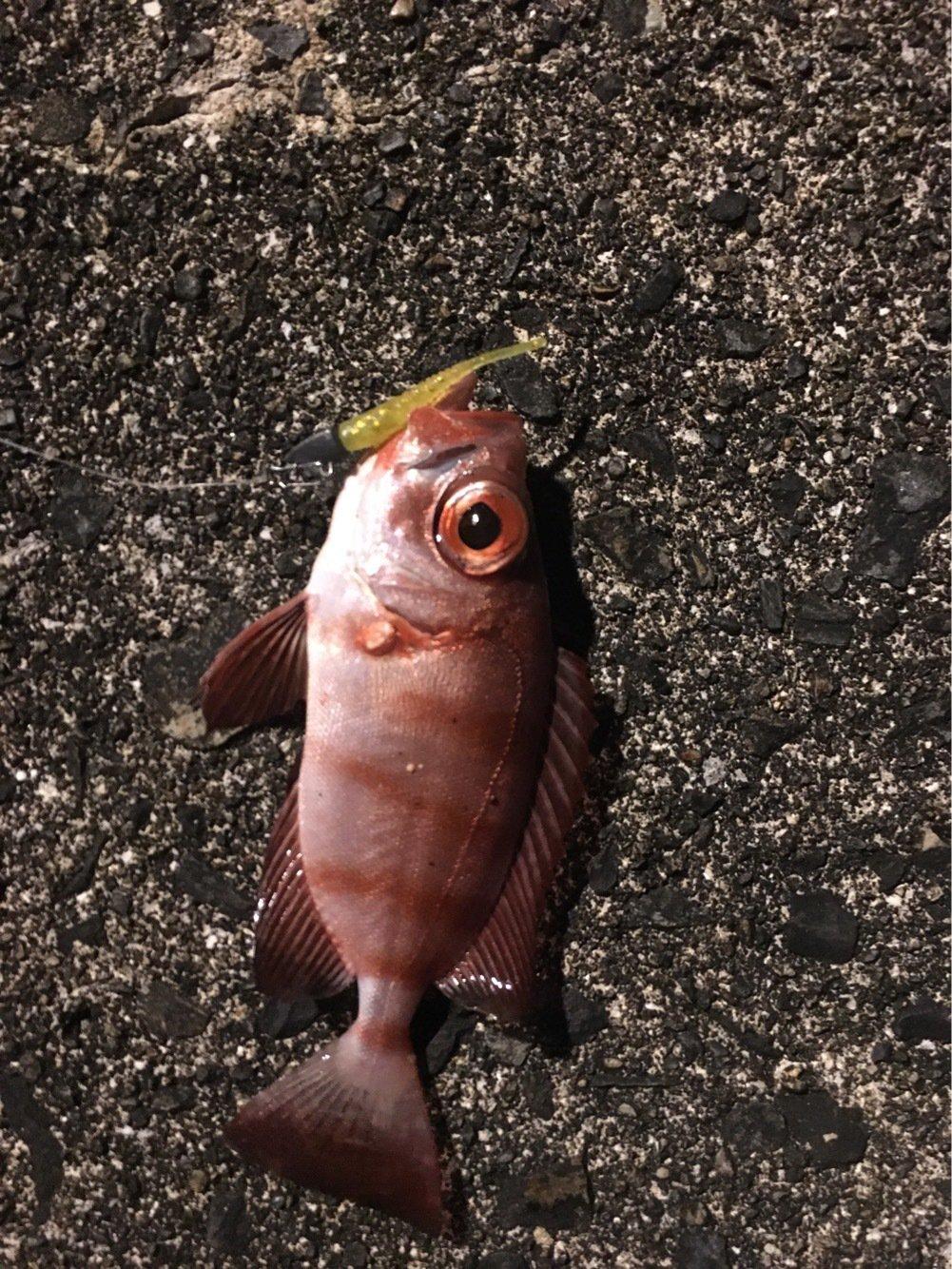 大五郎さんの投稿画像,写っている魚はホウセキキントキ