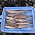 Naomi さんの石川県小松市での釣果写真
