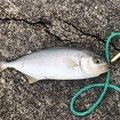 コイズミさんの福島県石川郡での釣果写真