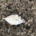 若葉マークさんの新潟県西蒲原郡での釣果写真