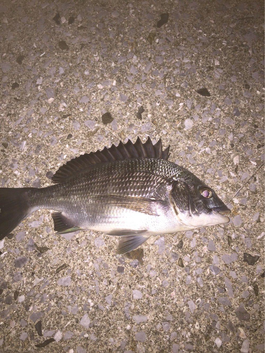 ドドレファンさんの投稿画像,写っている魚はクロダイ