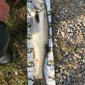 釣り吉さんの青森県青森市での釣果写真