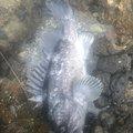 シーアツさんの北海道でのキツネメバルの釣果写真