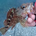 ๛kabaralusifa卍 さんのカサゴの釣果写真