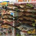 釣りっ小僧さんの広島県呉市での釣果写真