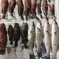 釣りっ小僧さんのアカササノハベラの釣果写真