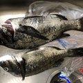 釣りっ小僧さんの広島県でのクロダイの釣果写真