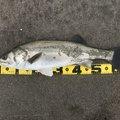 じゅうべえさんの宮城県東松島市でのスズキの釣果写真